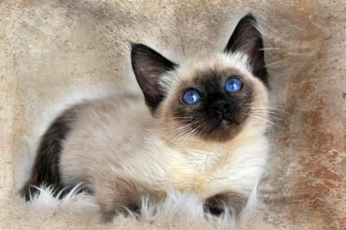 Siamese Cats Amp Kittens For Sale In San Francisco Bay Area