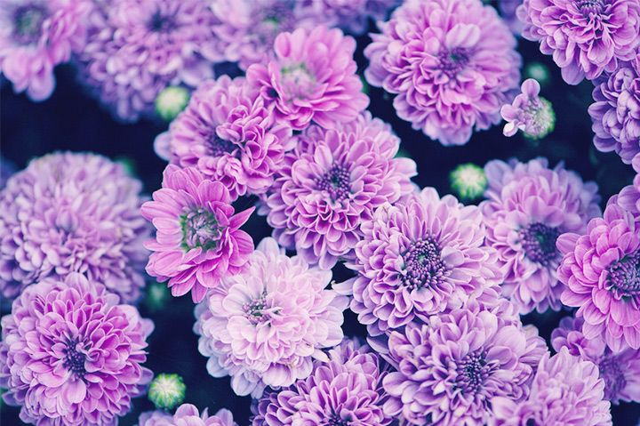 Chrysanthemum meaning and symbolism chrysanthemum