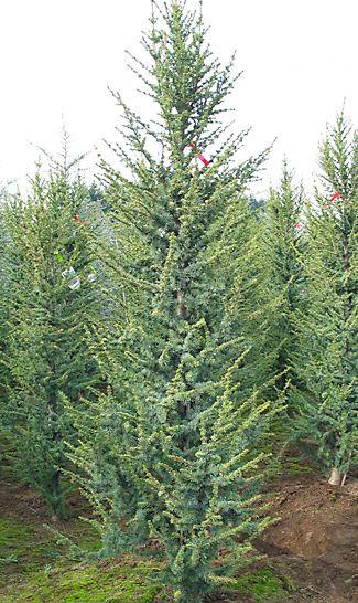 Blue Atlas Cedar Cedrus Atlantica Glauca Fastigiata 30x10