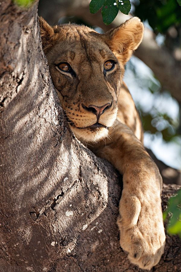 Tree Climbing Lioness by Giovanni Mari on 500px