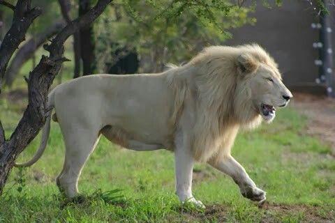 White Lion White Lion Lion Lions