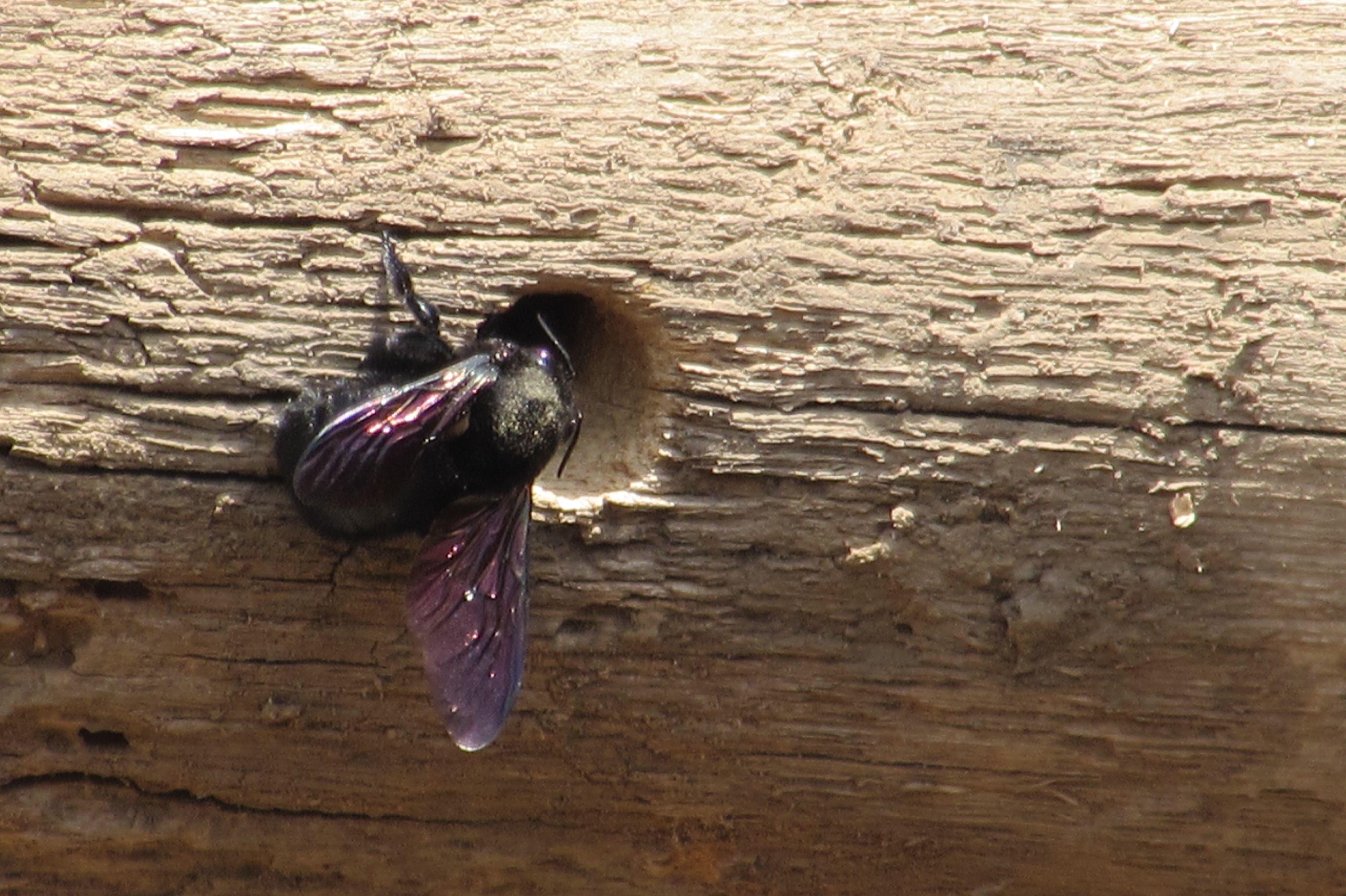 Un insecto cavando en una viga de madera!!! muy buena toma!!!
