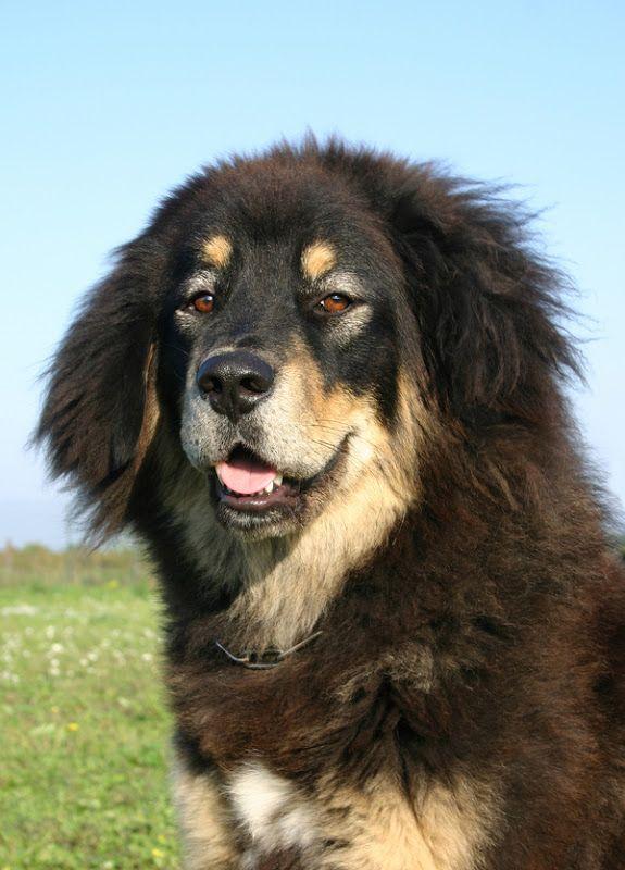 Tibetan Mastiff Do Khyi Is An Ancient Breed And Type Of Domestic Dog Tibetan Mastiff Mastiff Dog Breeds Tibetan Mastiff Dog
