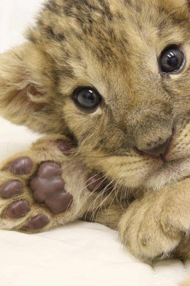 ミルクを飲んだ後は、ゴロンとします ( ^ω^ )赤ちゃんライオン