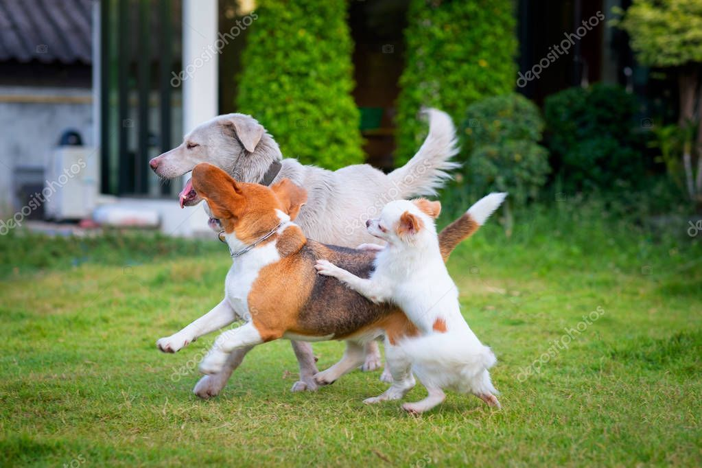 Three Dogs Playing On A Green Grassy Land Home Garden It Looks
