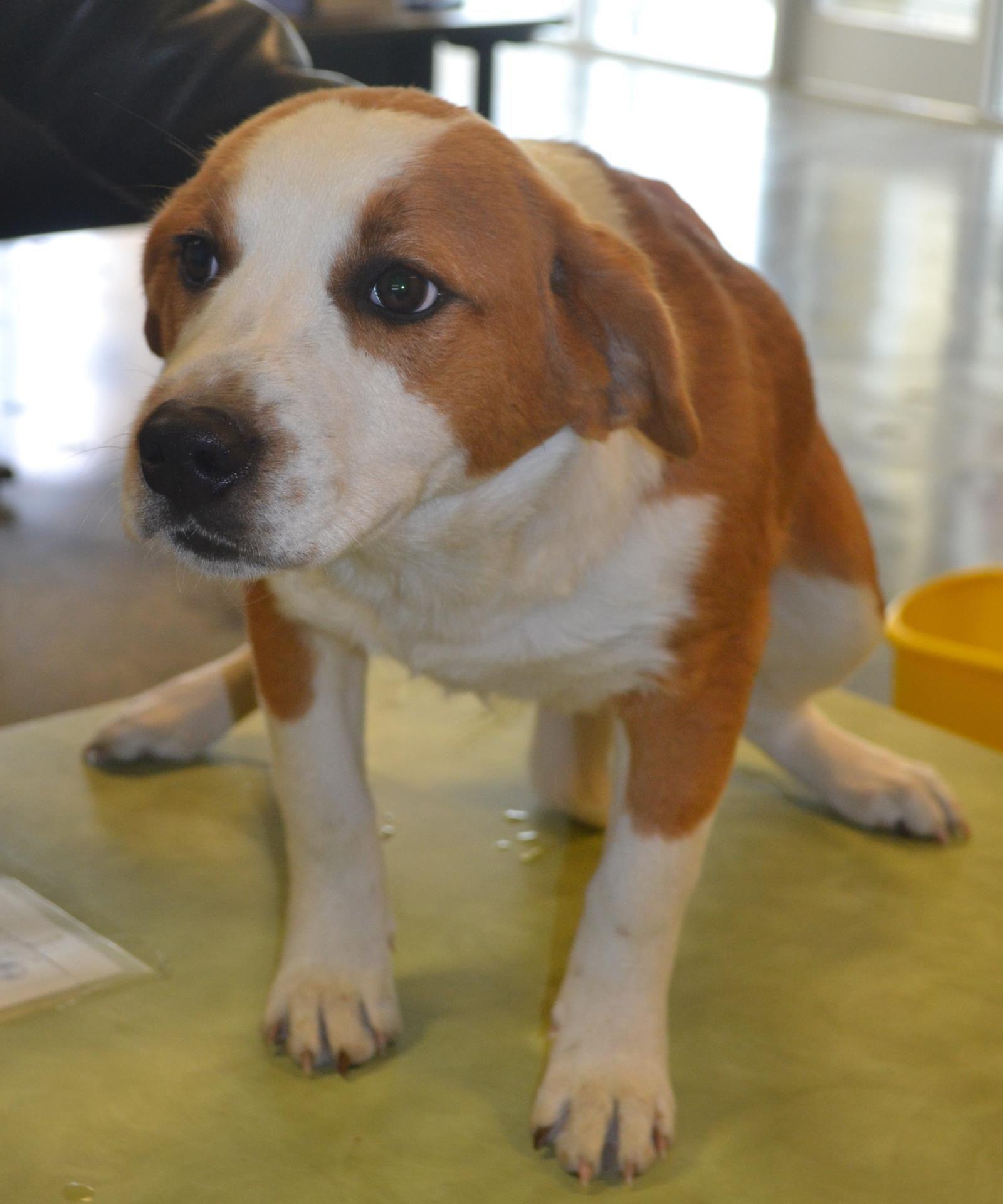 Basset dog for Adoption in Rockwall, TX. ADN733754
