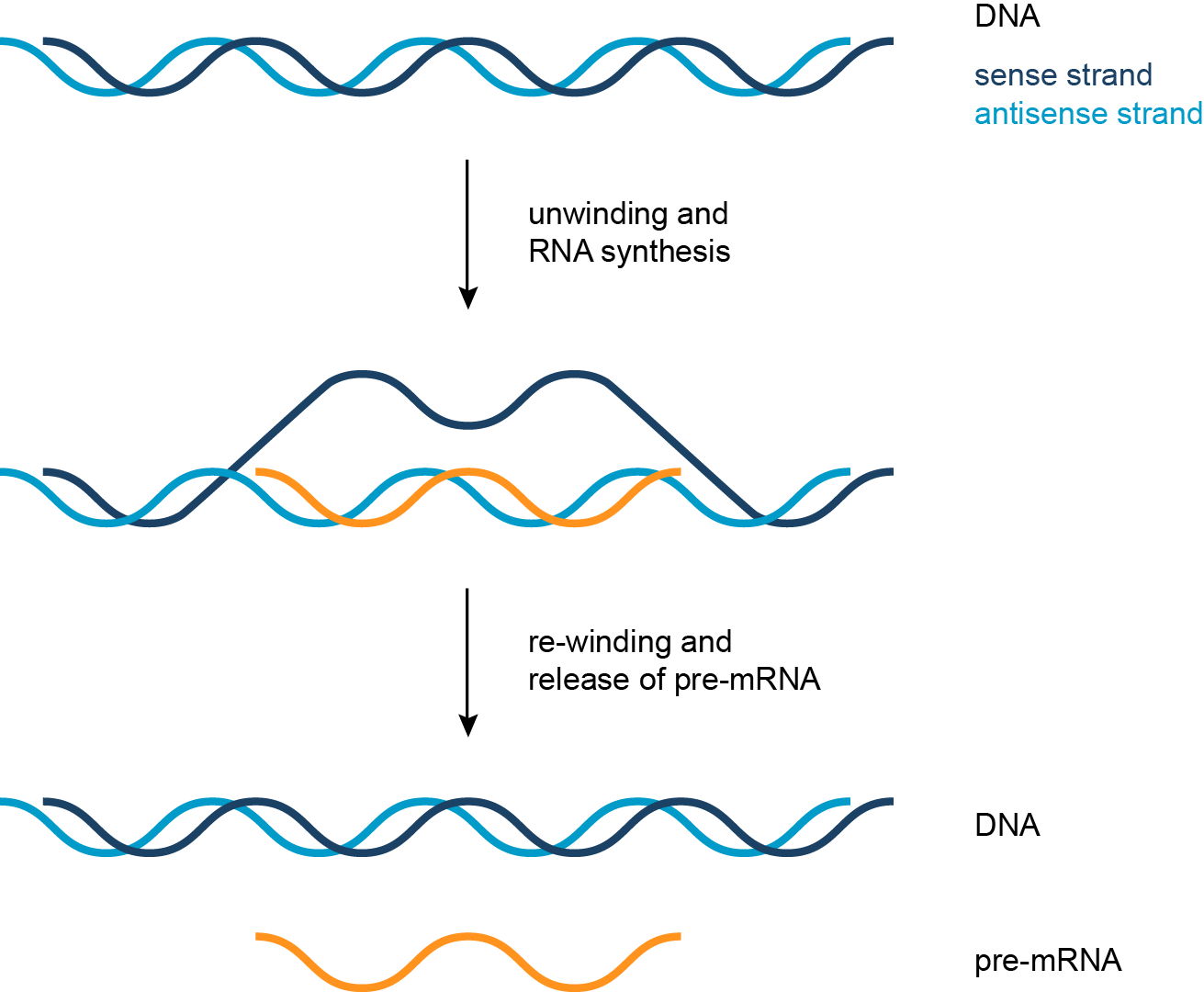 Simplified Representation Of The Formation Of Pre