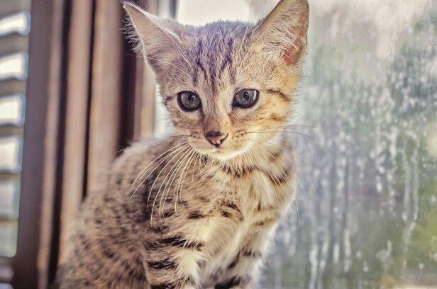 Bengal kitten... 9 weeks old.