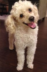 Ajax Is An Adoptable Poodle Dog In Fresno Ca This Sweet 4 Year