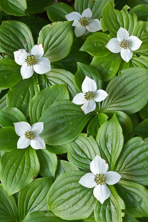 Bunchberry dogwood (Cornus canadensis) for a shady ground cover.
