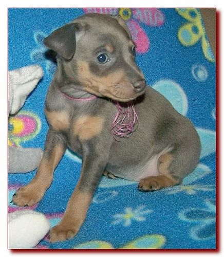 Toy King Blue Female Miniature Pinscher Puppy Breeder 2 Doberman