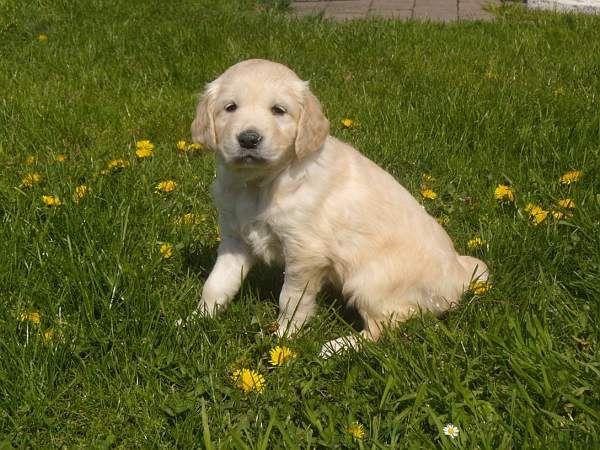 Golden Retriever Meisje06 Golden Retriever Retriever Labrador Retriever