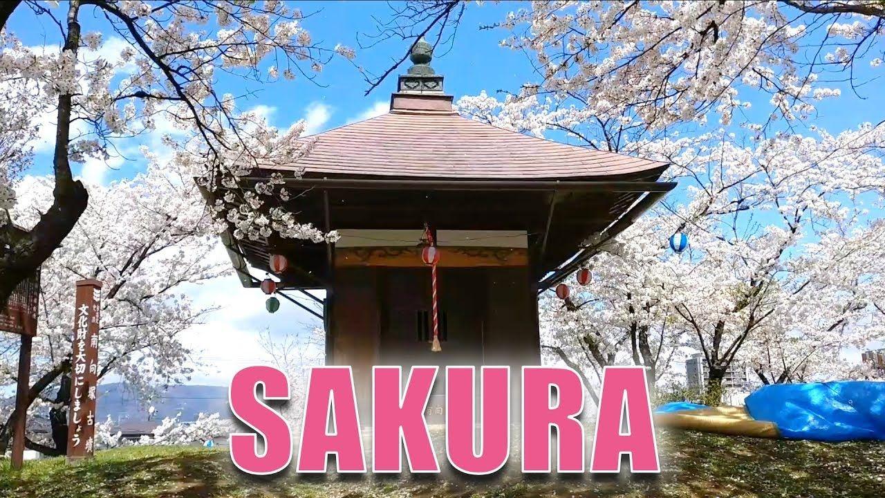 Japan S Cherry Blossoms Sakura Hanami Japan Cherry Blossom Festival Hanami Japanese Cherry Blossom