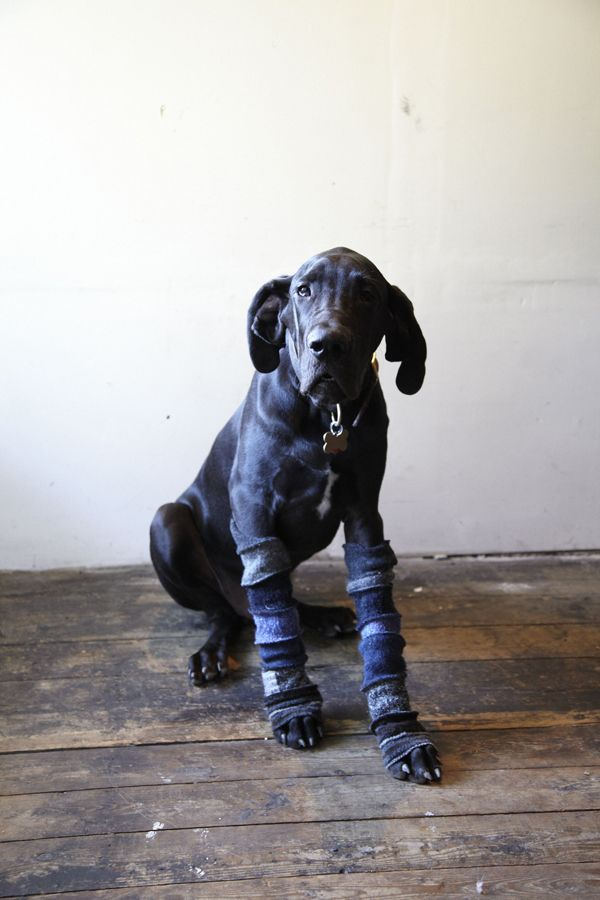 Ashur The Great Dane Puppy Wearing My Sleeves Great Dane