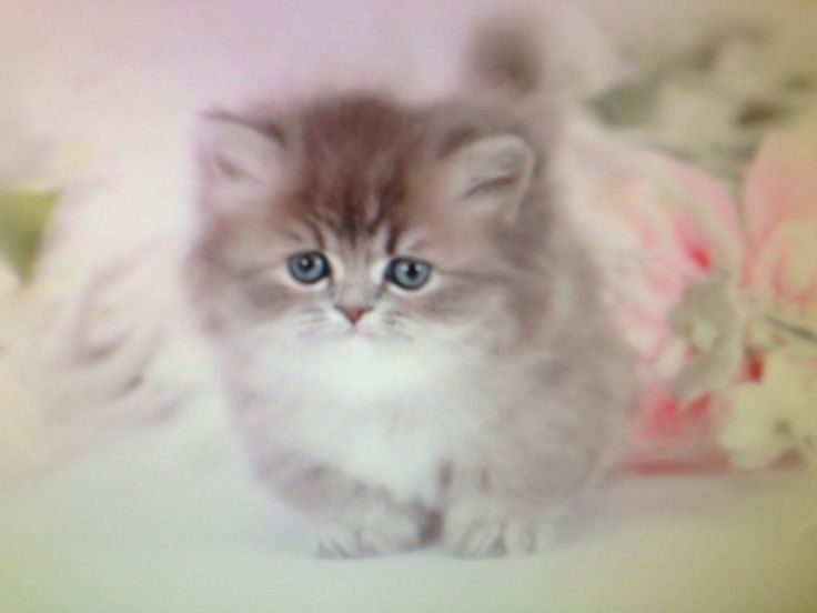 Teacup Persian Cats | Teacup Persian Cat Full Grown It\'s legs only ...