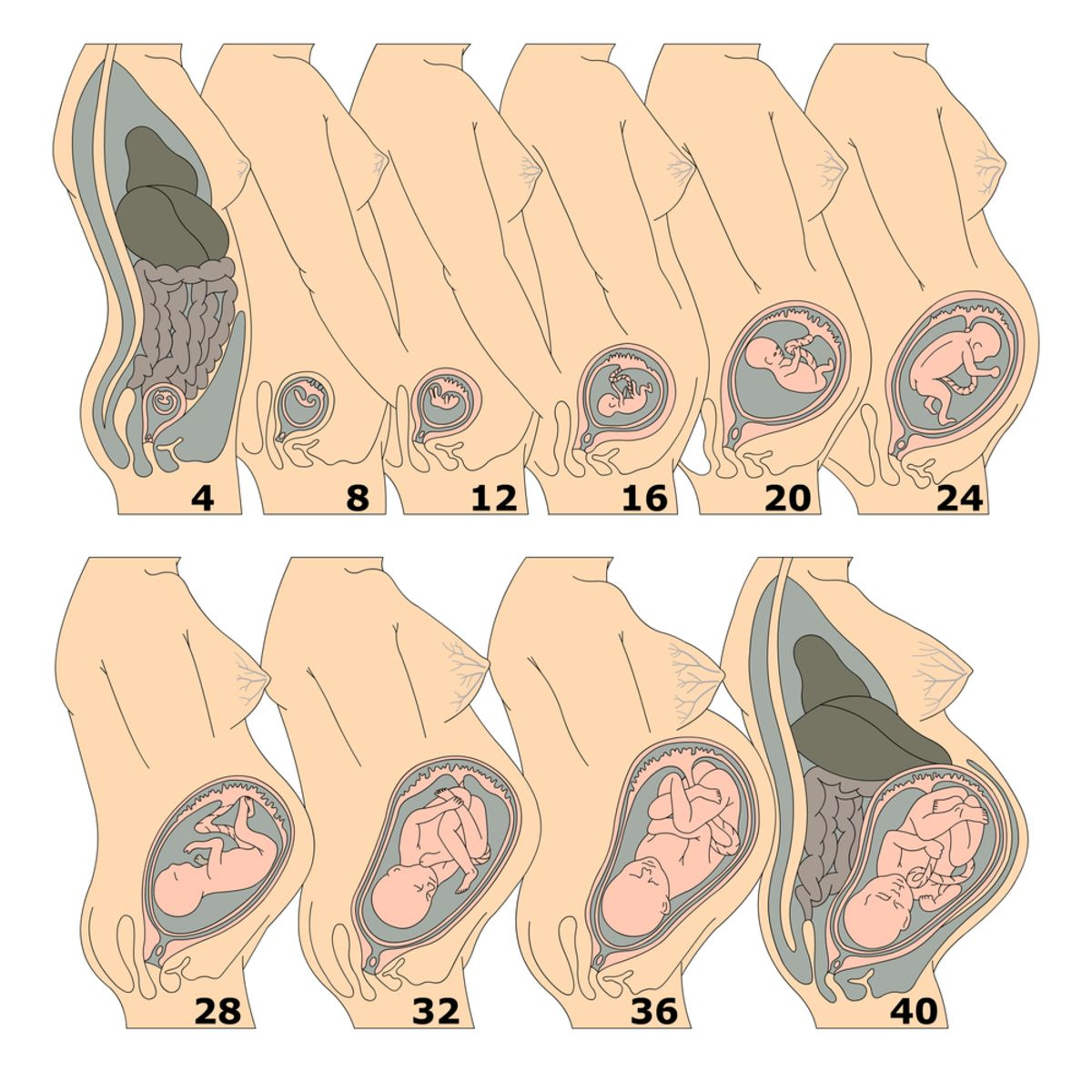 Pregnancy Growth Chart Available Inside Baby Countdown