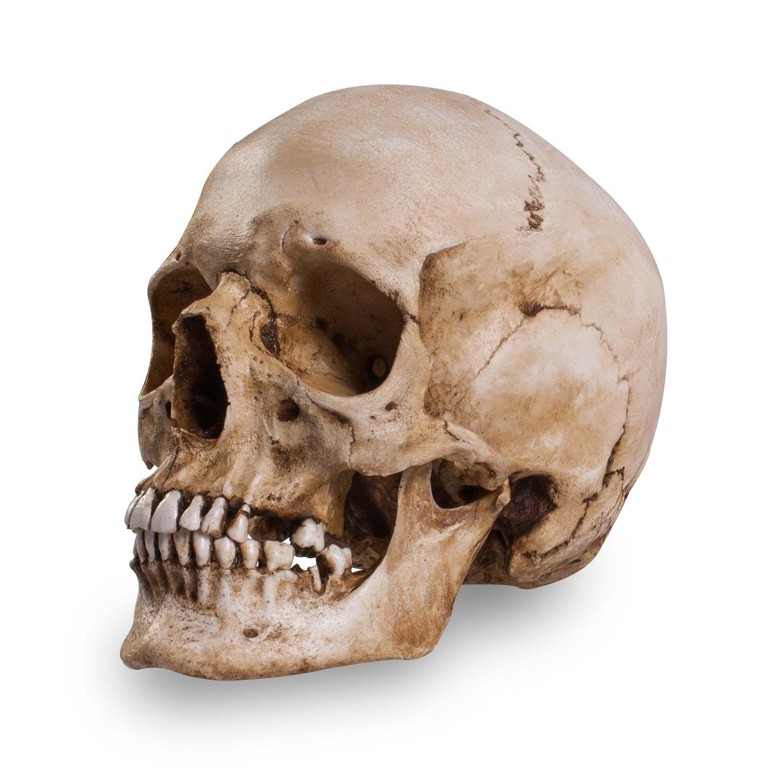 Female Human Skull | Skull Shoppe- Adult Female Caucasian ...