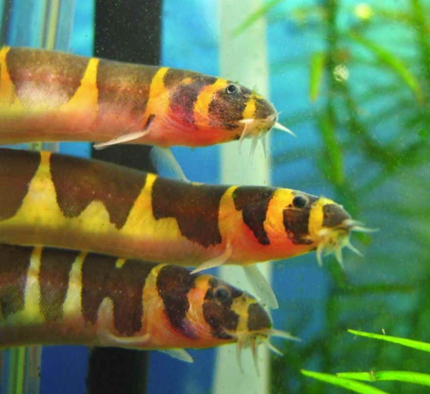 Kuhli Loach Is A Popular Small Aquarium Fish It Is A Bottom Dwelling Scavenger And Will Feed On Live Aquarium Fish Fresh Water Fish Tank Community Fish Tank