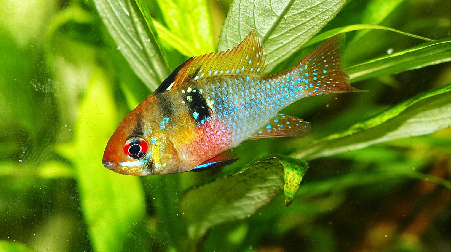 Beautiful Fish Have One Of These That Get Along With My African Cichilids And Am Afraid Of Thinking Of Putting Cichlids Saltwater Aquarium Fish Aquarium Fish