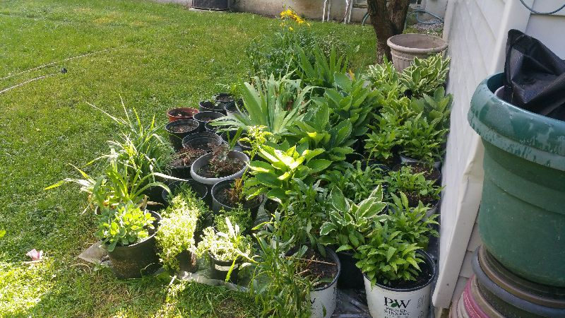 perennials for sale - hostas, daylilies, boxwoods, yew, sedum all very mature, well taken care of. many available. call or text before they are gone. no emails. thank you.