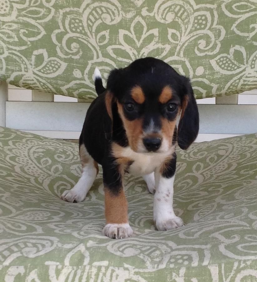 Adorable Beagle Puppies ready for their new home