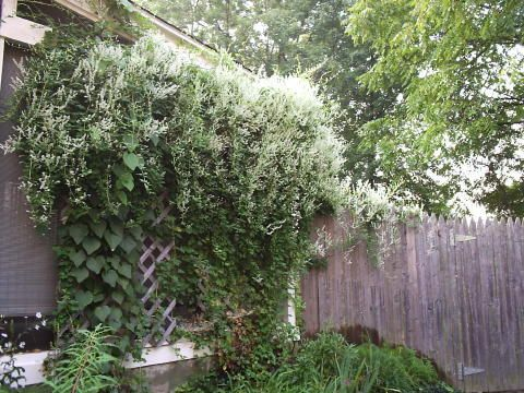 Silver lace vine and dutchmans pipe For the back fence garden