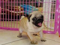 Image Result For Cute Pug Puppies For Sale Madisons Pugs