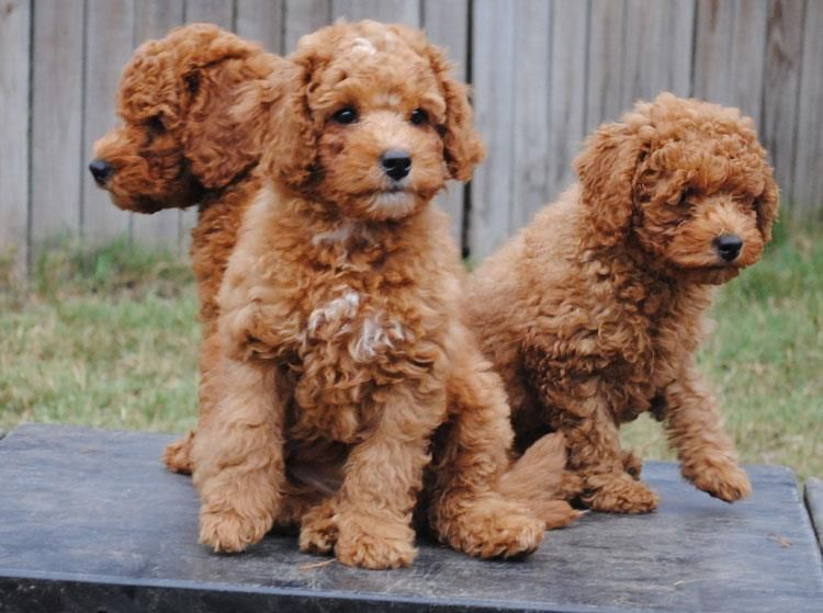 Red Mini Australian Labradoodles