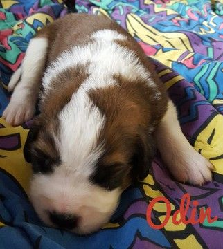 Litter Of 9 Saint Bernard Puppies For Sale In New London Mn Adn