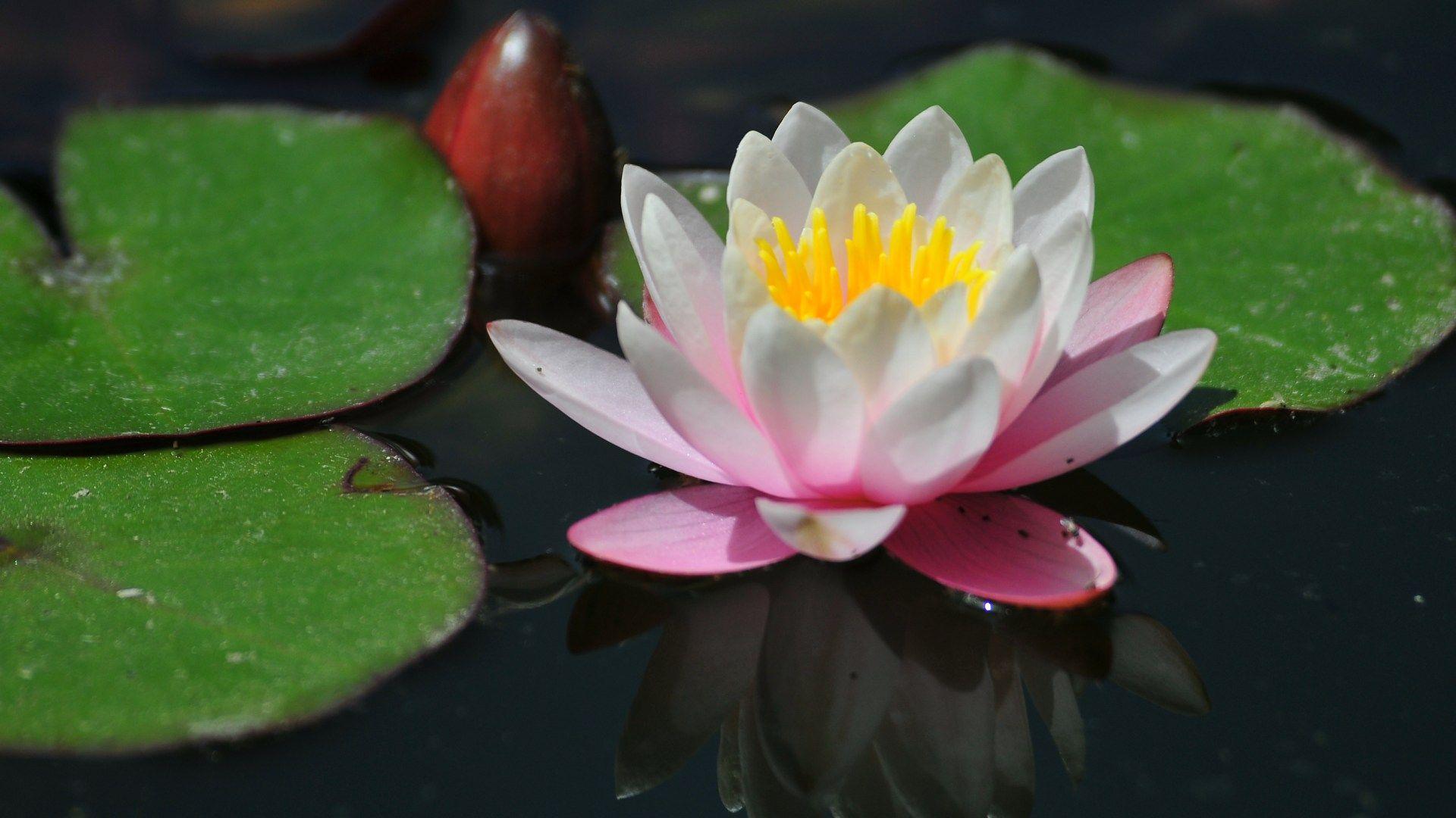 Pictures water lilies flowers recherche google hoa sen pictures water lilies flowers recherche google izmirmasajfo Gallery