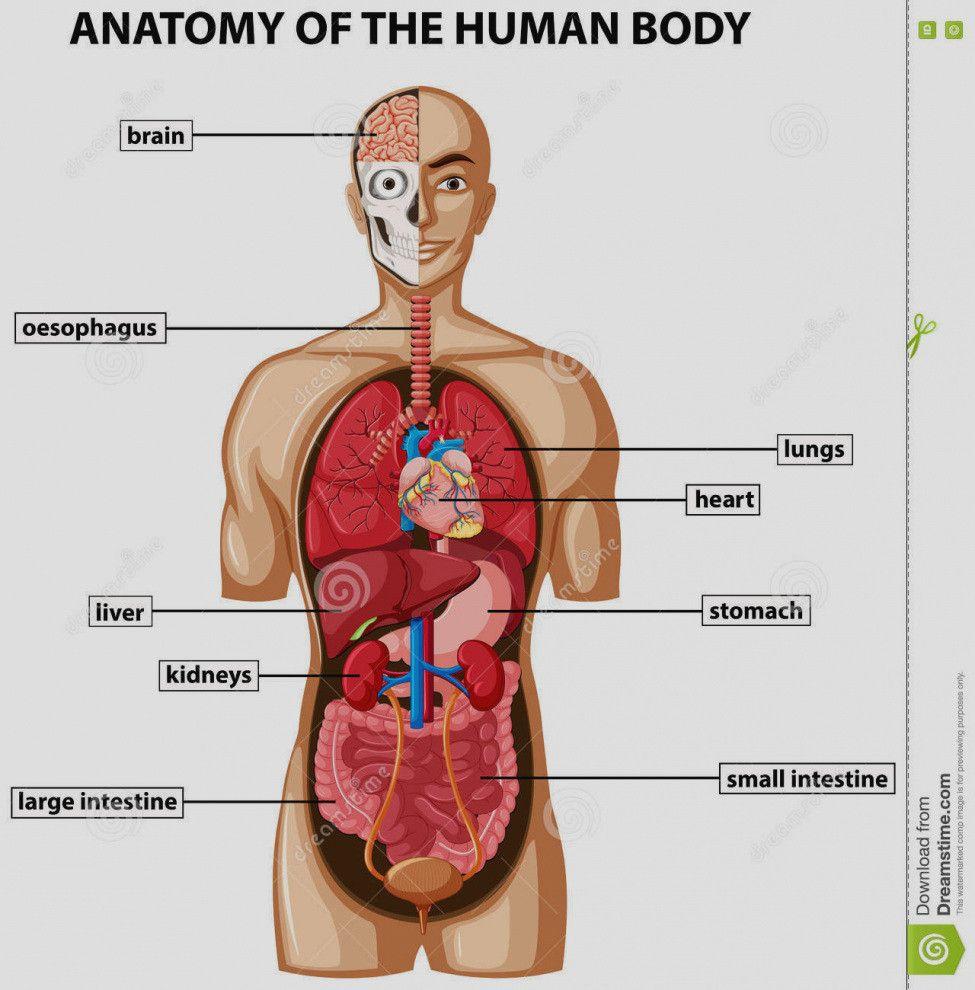 Inside Female Human Body Human Anatomy Pictures Human Body