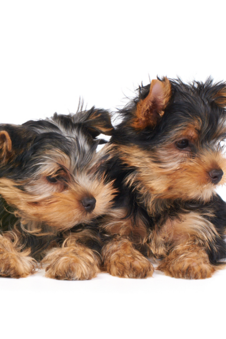 Four Puppies Of The Yorkshire Terrier Isolated On White