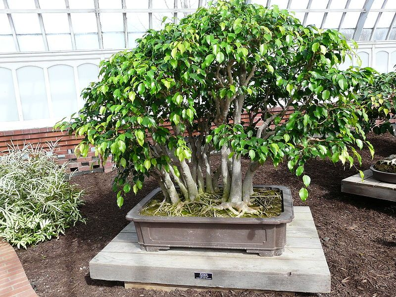 List Of Species Used In Bonsai Wikipedia The Free Encyclopedia Ficus Bonsai Tree Bonsai Tree Ficus Benjamina