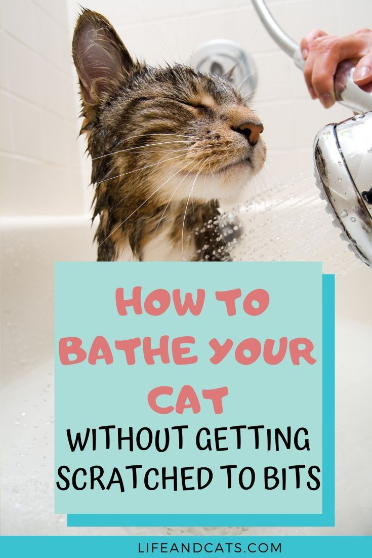 How To Bathe Your Cat Without Getting Scratched To Bits Life Cats In 2020 Kitten Care Pet Care Cats Kitten Grooming