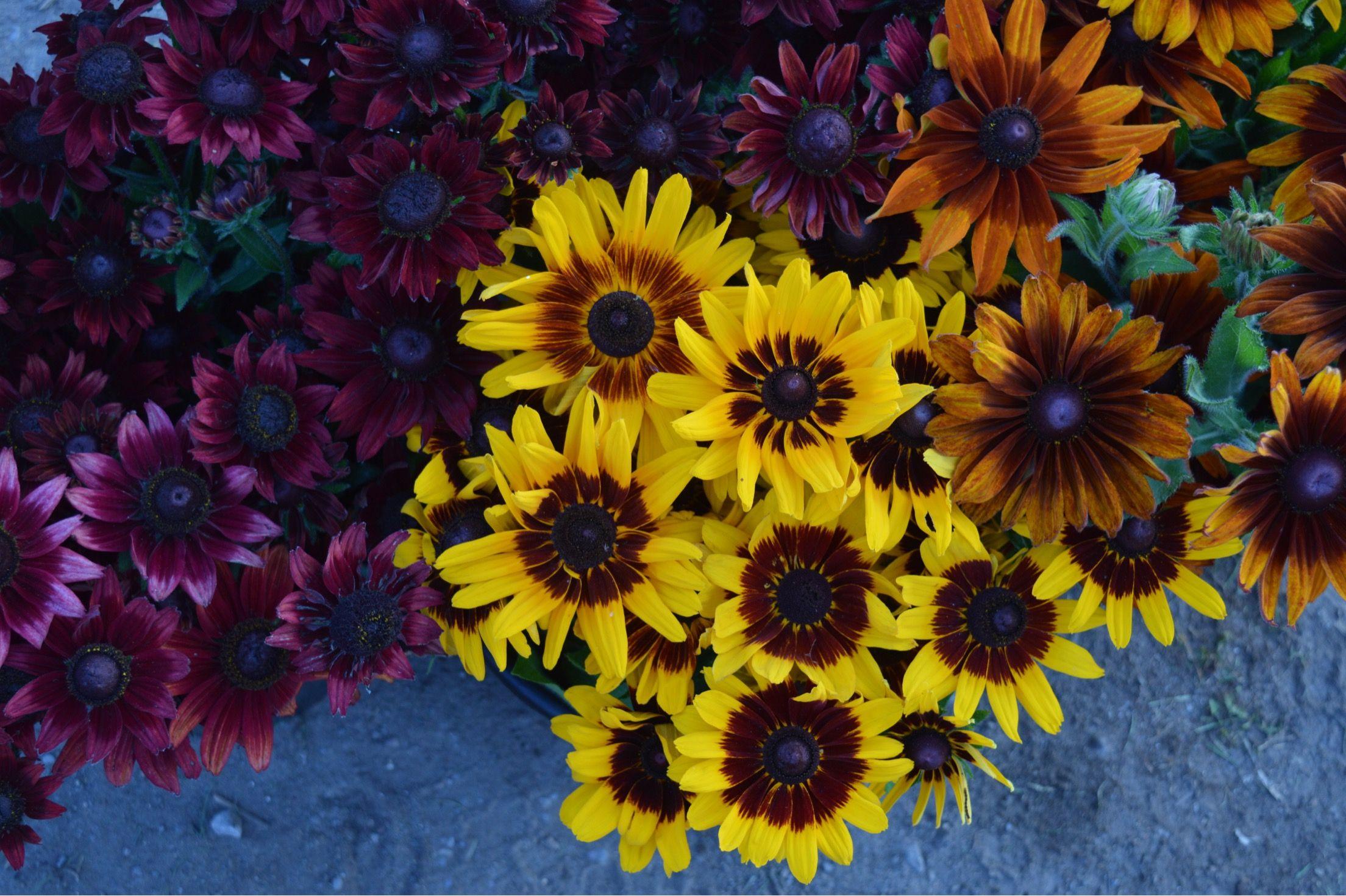 Rudbeckia in October. October flowers, Painting, Flowers