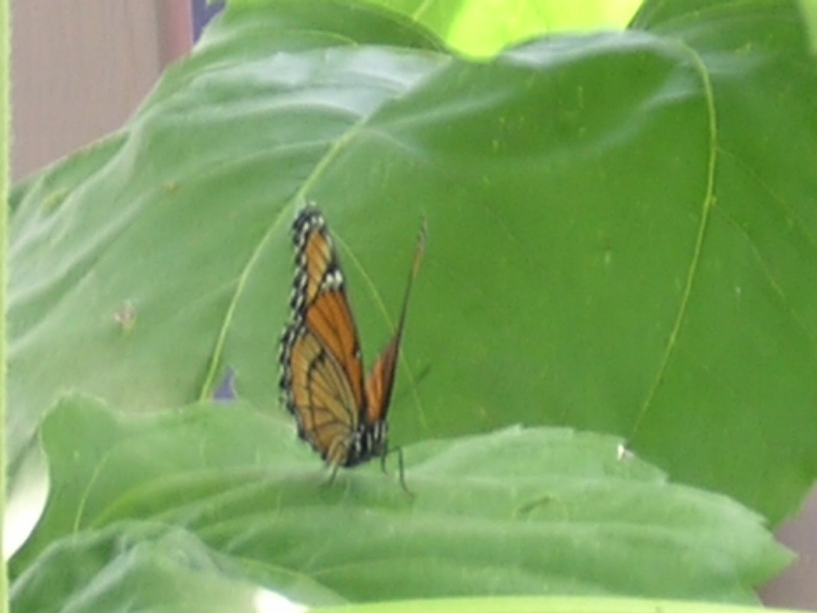 Butterfly on sunflower leaf