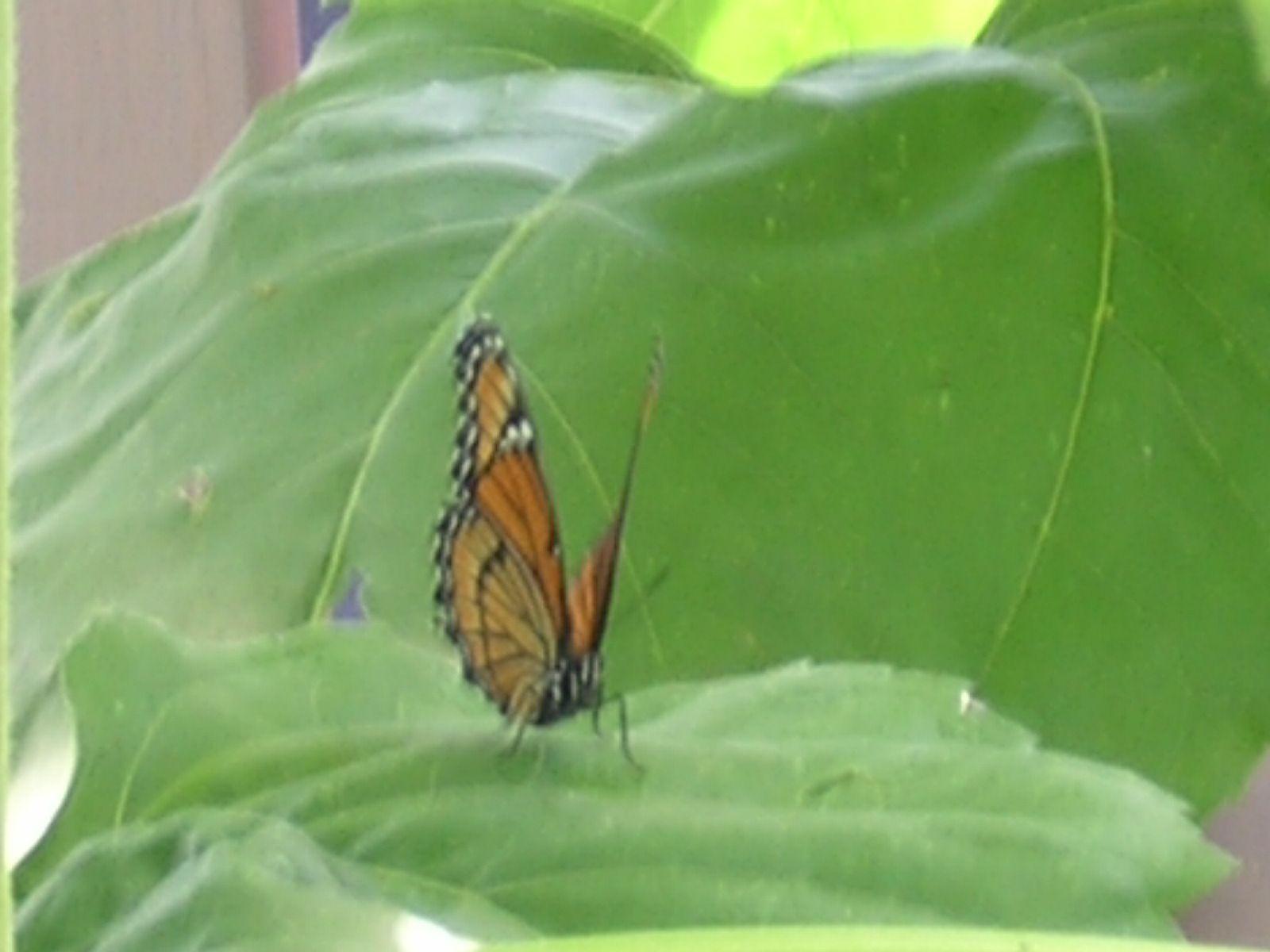 Butterfly on sunflower leaf