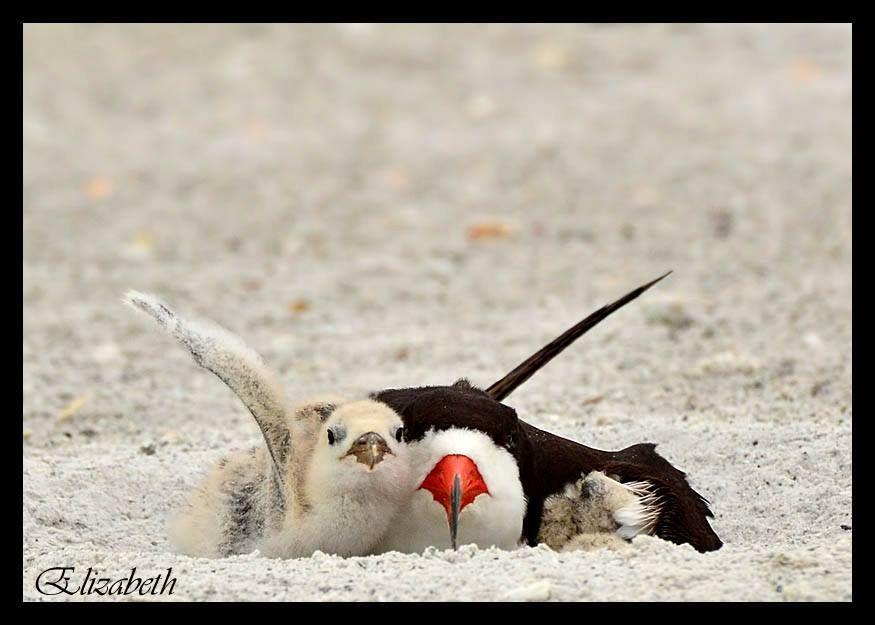Beach-nesting Birds in Pinellas County