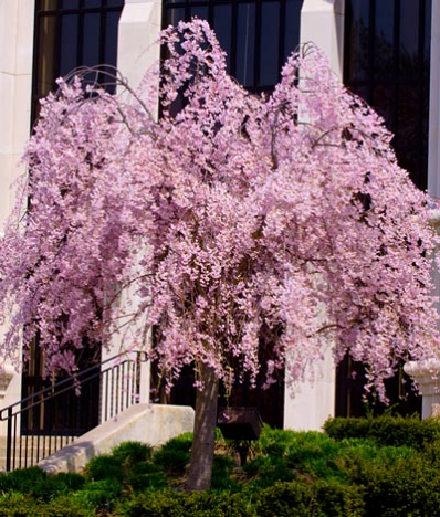 Pink Weeping Cherry Tree Weeping Cherry Tree Flowering Trees Trees To Plant