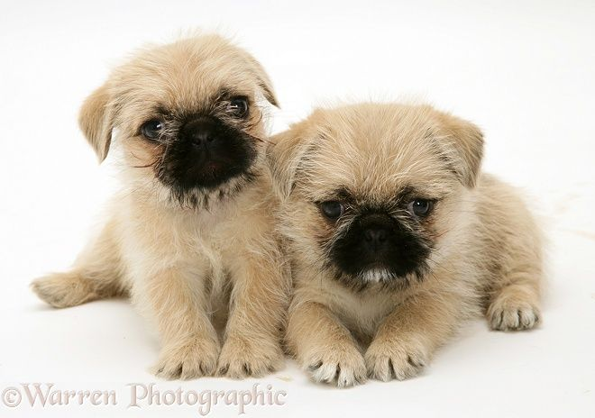 Dogs Pugzu Pug X Shih Tzu Pups Photo Wp10928 Black Pug