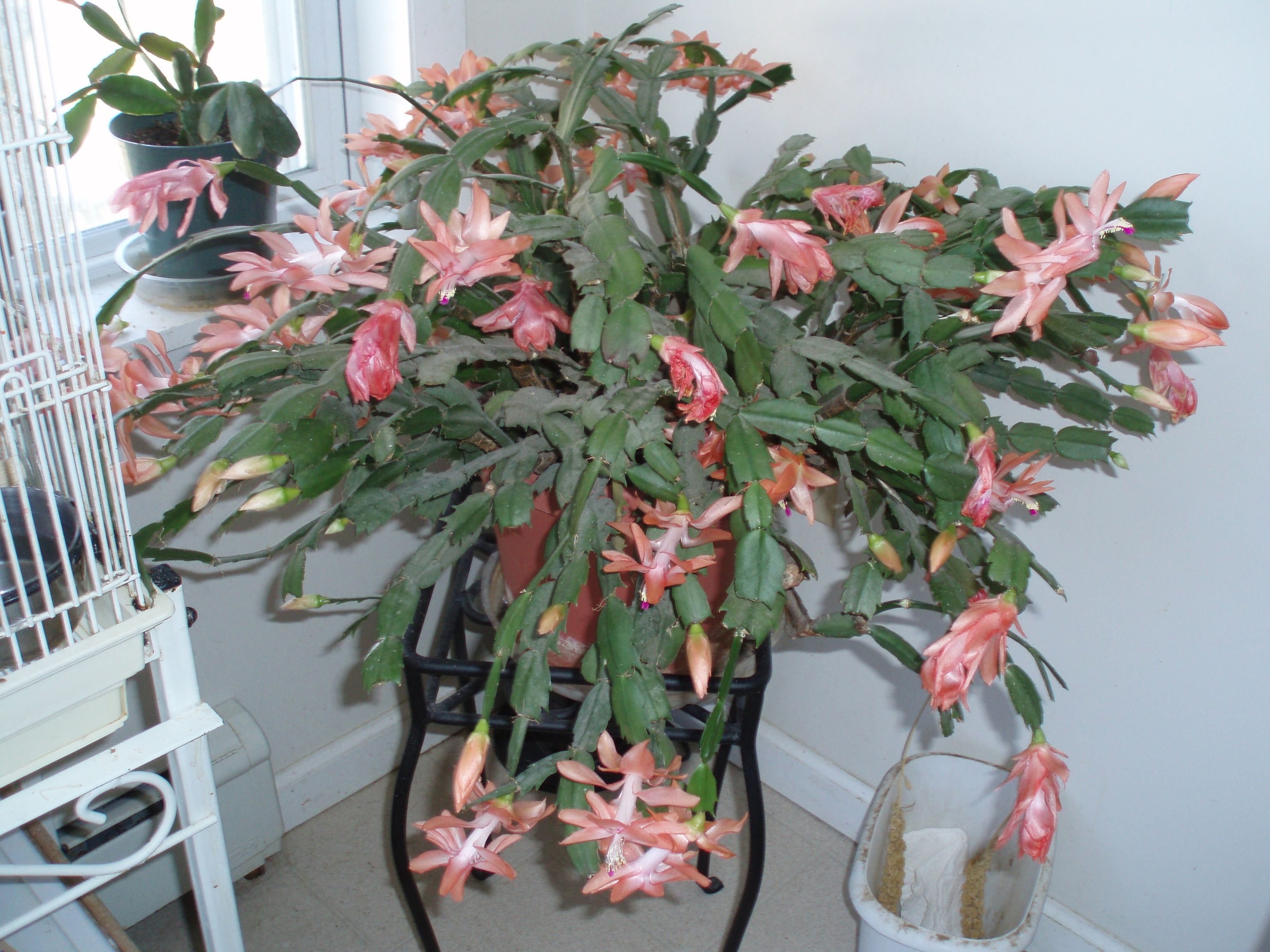 Christmas Cactus Blooming.This Is A Very Old Salmon Christmas Cactus That Blooms From