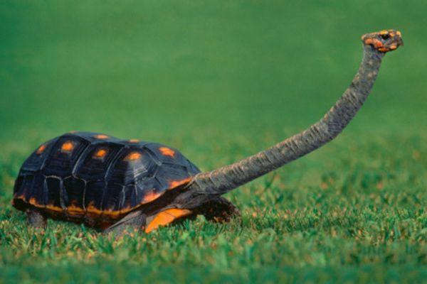 Smooth Snake-Necked Turtle  As its name implies, the neck of Chelodina longicollis is disproportionately long. Le cou est long et étroit, typique de la Chelodina sous - genre, et atteint une longueur d'approximativement 60% de la longueur de la carapace