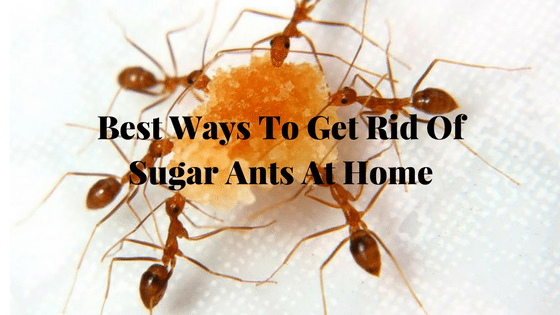 Best Ways To Get Rid Of Sugar Ants At Home Sugar Ants Ants