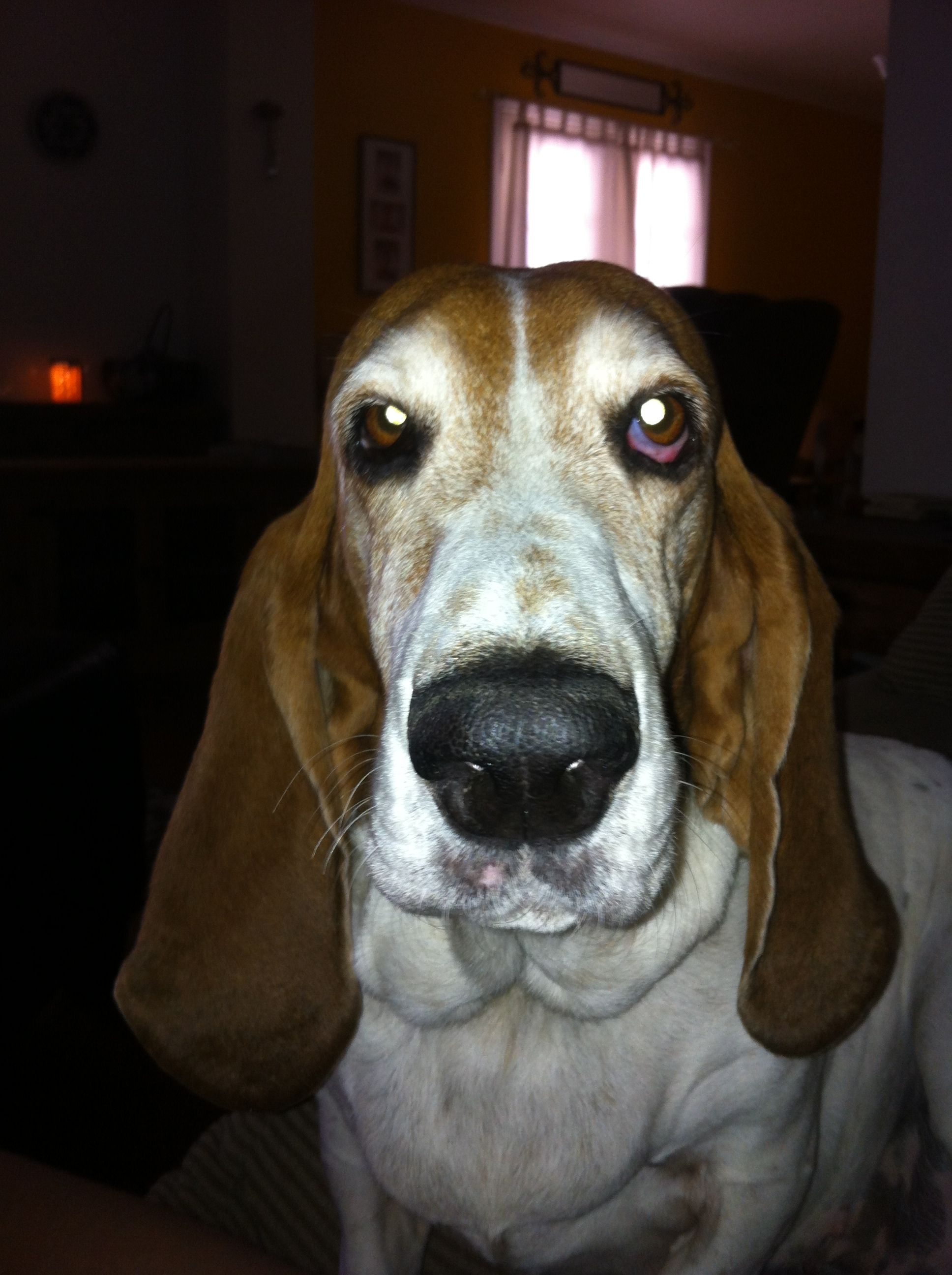 How Much Are Miniature Basset Hounds 2021