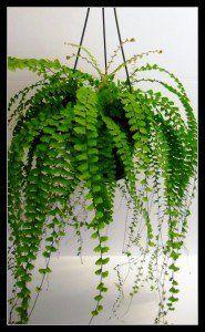 Trailing fern for woolly pocket.