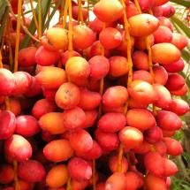 Red Dates of Oman