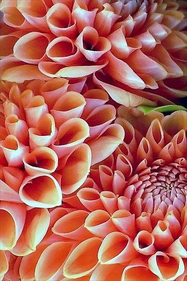A Dalliance Of Dahlias By Paintingsheep Belles Fleurs Fleurs De Dahlia Dahlia