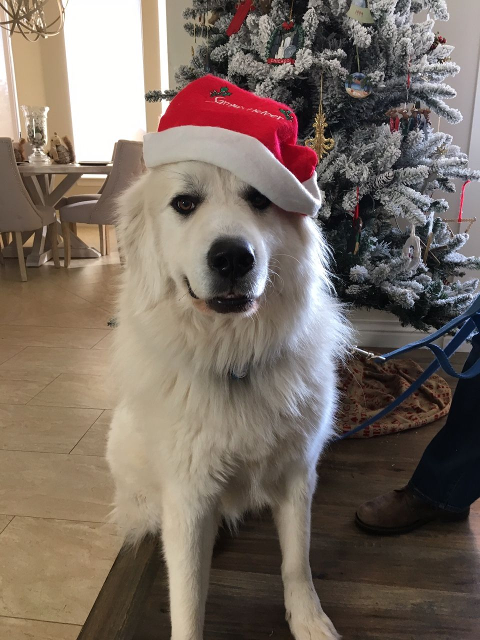 Great Pyrenees dog for Adoption in Evergreen, CO. ADN