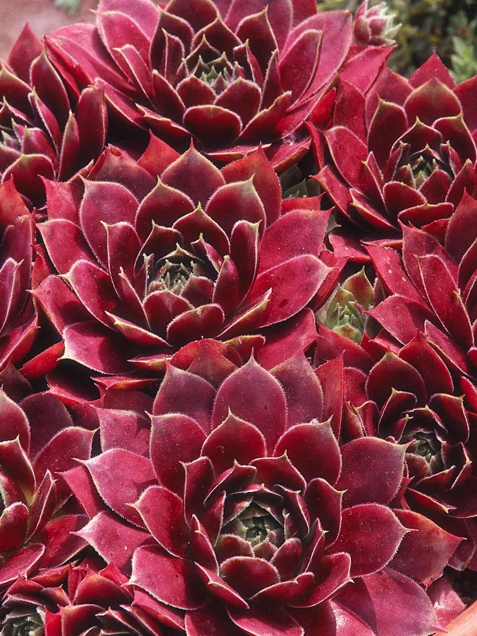 Hens And Chicks, Are Ornamental Succulents That Will Tolerate Shade And Sun.