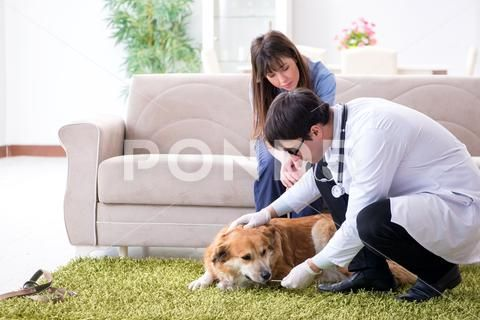 Vet doctor visiting golden retriever dog at home Stock
